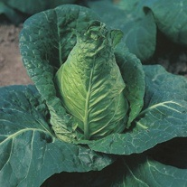 Cabbage Hispi F1 AGM Veg Plants