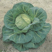 Cabbage Spring Hero F1 AGM Plants