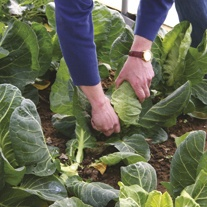 Cabbage Excel F1 Plants