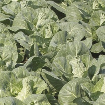 Cabbage Regency F1 Veg Plants