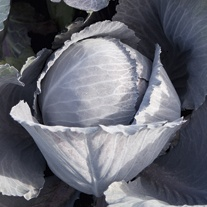 Cabbage Lodero F1 Plants