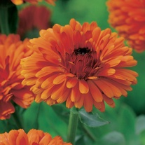 Calendula Indian Prince Plants