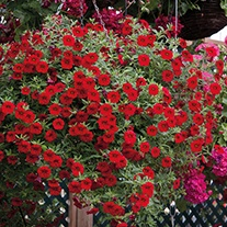 Calibrachoa Cabaret Bright Red Flower Plants