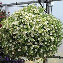 Calibrachoa Cabaret® White Plants