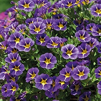 Calibrachoa Cabaret Starlight Blue Flower Plants