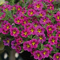 Calibrachoa Cabaret® Starlight Pink Plants
