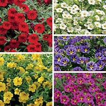 Calibrachoa Cabaret® Plant Collection