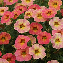 Calibrachoa Calita Apricot Shades Plants