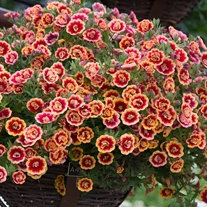 Calibrachoa Double Can-Can Orange Tastic Flower Plants