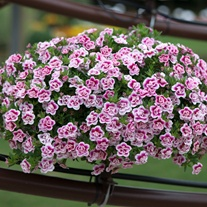 Calibrachoa Double Can-Can Pink Tastic Flower Plants