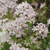 Campanula Loddon Anna plants