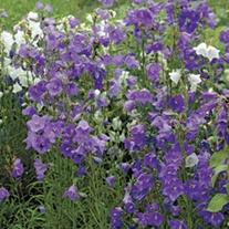 Campanula persicfolia Blue Plants