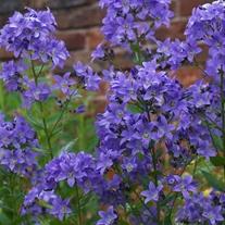 Campanula Pritchard's Variety Flower Plants