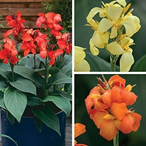 Canna Cannova Plant Collection