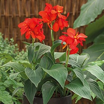 Canna Cannova Red Shades Plants