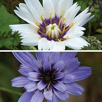 Catanache Plant Collection