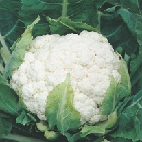 Cauliflower Aalsmeer AGM Plants
