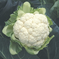 Cauliflower North Foreland F1 Plants