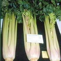 Celery Starburst F1 Plants