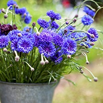Centaurea cyanus Blue Boy Flower Plants