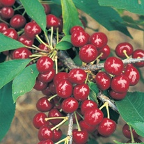 Cherry Summer Sun fruit Tree