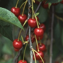 Cherry Montmorency (Morello) Tree