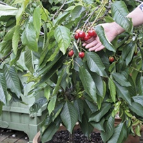 Sibley's Patio Cherry Hartland fruit tree
