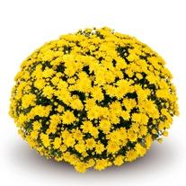 Chrysanthemum Conaco Yellow Plants