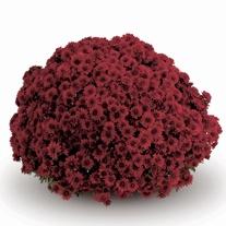 Chrysanthemum Okura Red Plants