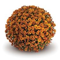Chrysanthemum Conelle Orange Plants