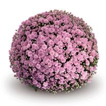 Chrysanthemum Mabel Pink Plants