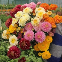 Chrysanthemum Pennine Flower Plant Collection