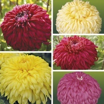 Chrysanthemum Outdoor Reflex Bloom Plant Collection