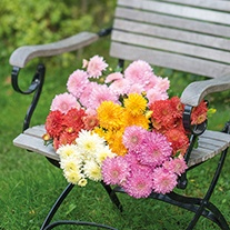 Chrysanthemum Gompie Flower Plant Collection