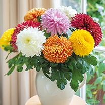 Chrysanthemum Outdoor Bloom Plant Collection