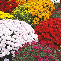 Chrysanthemum Outdoor Pot Flower Plant Collection