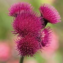 Cirsium Atropurpureum Plant