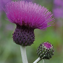 Cirsium Trevor's Blue Wonder Plants