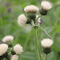 Cirsium Frosted Magic Plants