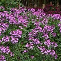 Cleome Senorita Rosealita Flower Plants
