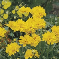 Coreopsis Early Sunrise Plants