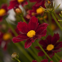Coreopsis Little Bang Red Elf Plants
