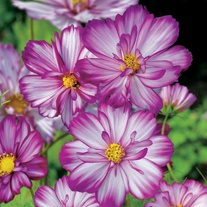 Cosmos Sweet Kisses Flower Plants