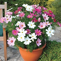 Cosmos Dwarf Sonata Mixed Plants