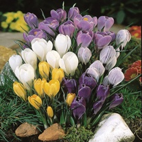 Crocus Species Mixed Bulbs
