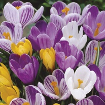 Crocus Large Flowered Bulb Mix