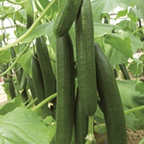 Cucumber Bella F1 (Grafted) Plants