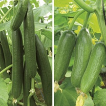 Cucumber (Grafted) Plant Collection