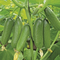 Cucumber (Grafted) Baby Rocky plants