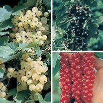 Season Long Currant Fruit Plant Collection